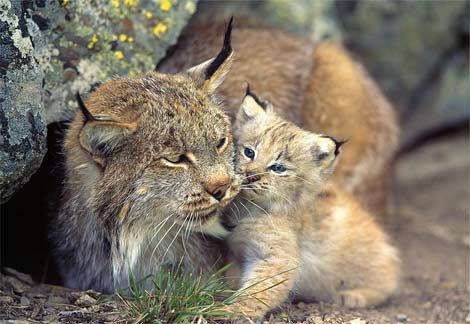 pictures of lynx with baby youtube